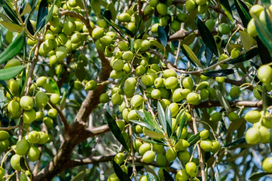 Resultado de imagem para Alentejo. A produção de azeite pode parar e o setor colapsar devido ao excesso de bagaço de azeitona