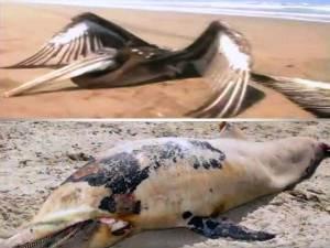 Perú Investiga misteriosas muertes de 538 pelícanos y 877 Delfines