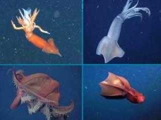 Increíbles vídeos de calamar vampiro del abismo y pulpo camuflándose 1