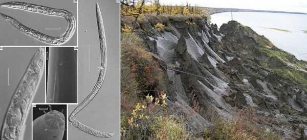 Gusanos congelados en permafrost por hasta 42,000 años vuelven a la vida
