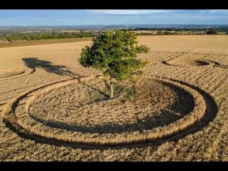 Círculos de cultivo alrededor de un árbol: Potterne Field, Wiltshire, Reino Unido 3-agosto-2020