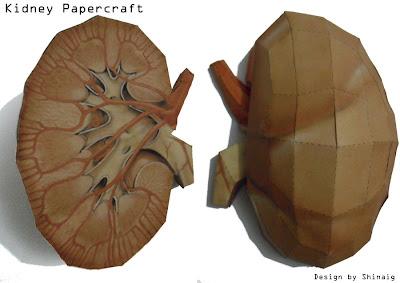 Kidneys Papercraft