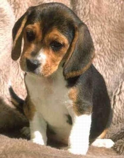 Beagle de un mes