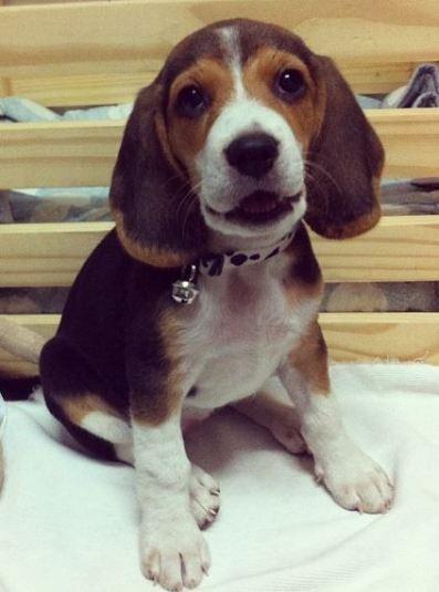 Beagle de 3 meses