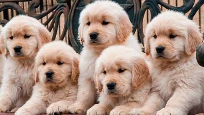 Perros Golden Retriever de cachorros
