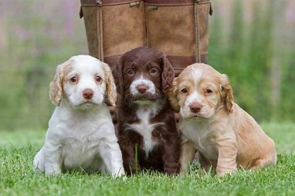 Cockers Spaniel Ingles de cachorros
