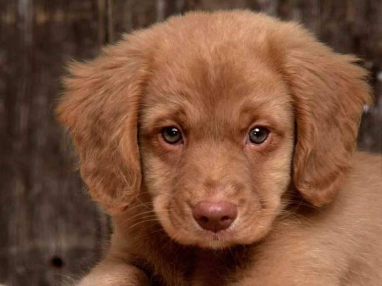 Cachorro de Cocker Spaniel con 3 meses