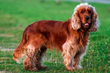 Cocker Spaniel Ingles marrón chocolate