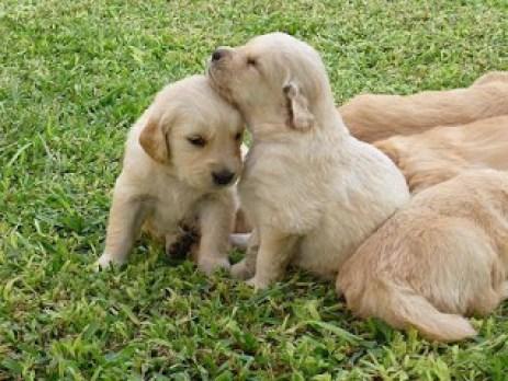 Cachorros de Golden Retriever de 2 meses