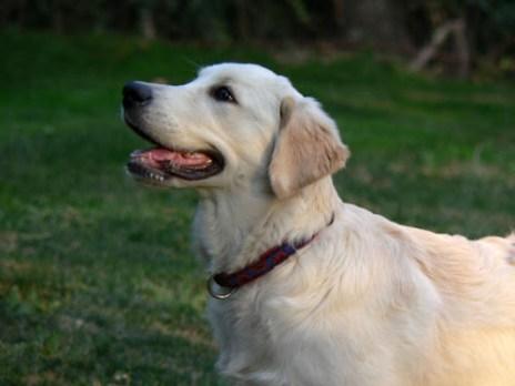 Cachorro de Golden retriever a los 4 meses