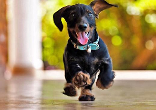 Perro Dachshund corriendo