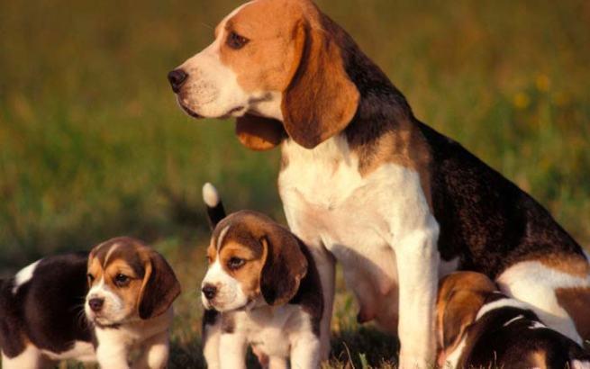 Hembra de Beagle
