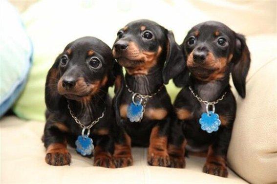Cachorros de perro Dachshund