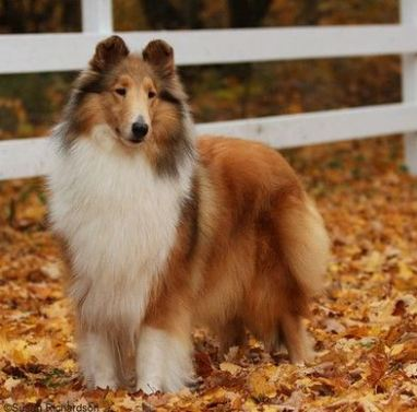 Origen del Rough collie