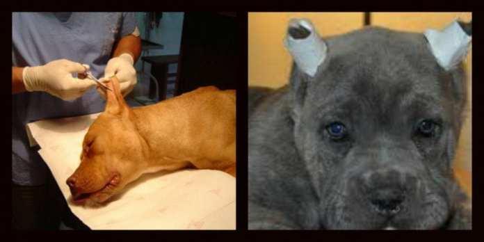 Mutilación estética en perros | Mundo Perros