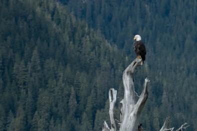 Águia-americana