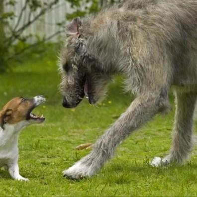 Perro gigante jugando con perro pequeño