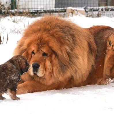 Perro gigante con un cachorro