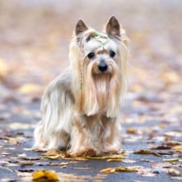 silky-terrier-2