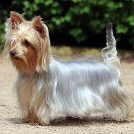 silky-terrier-4