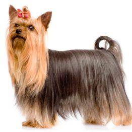 silky-terrier-6