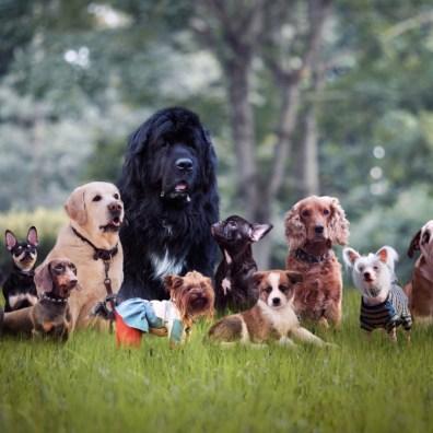 Terranova comparado con otros perros