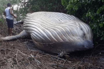 baleia jubarte encontrada morta