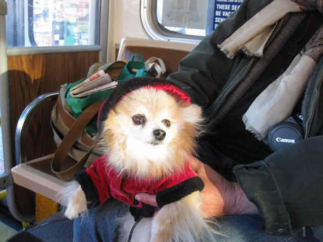 pomeranian-in-coat