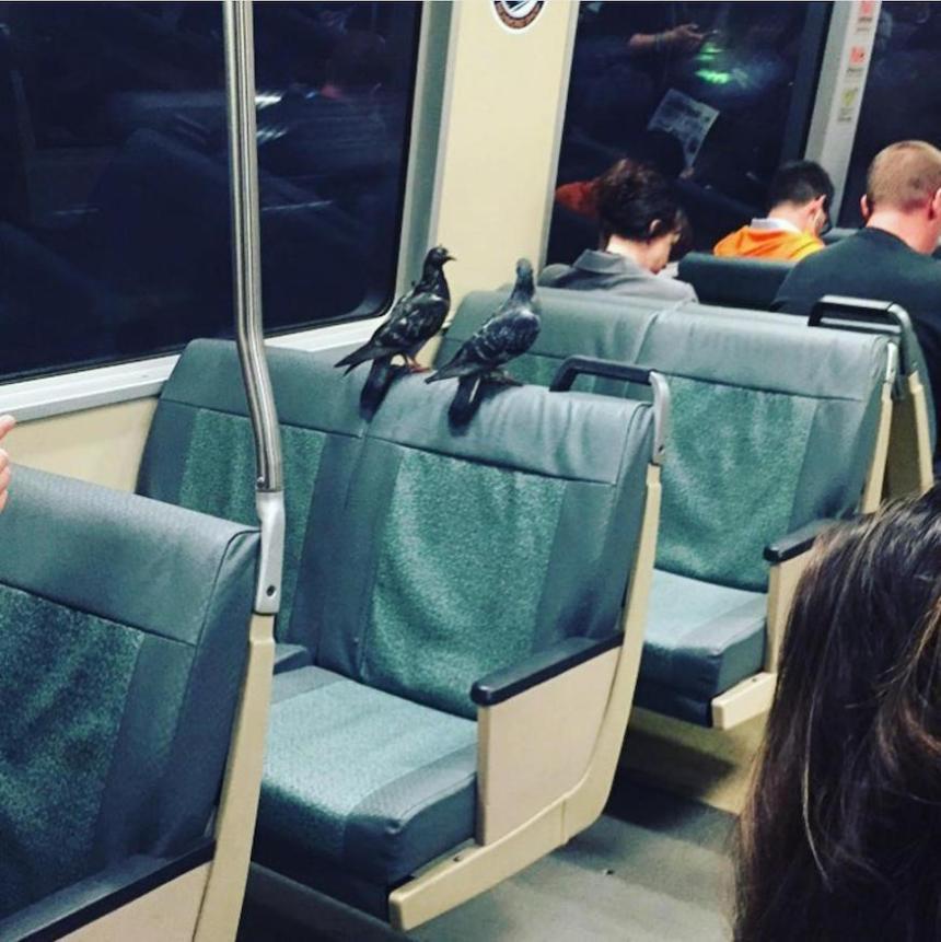 bart_pigeons