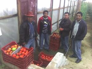 Apoyo a productores de tomate bajo invernadero