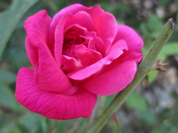 chinesische Rose