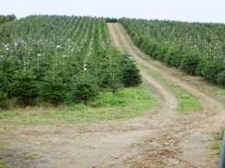 A christmas tree farm in full swing