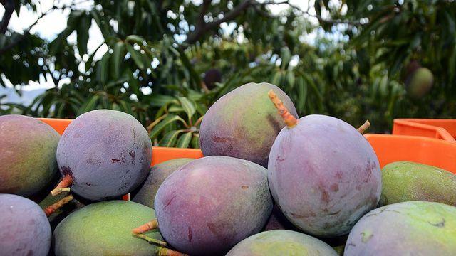 El Festival de la Cosecha del Mango de República Dominicana trascurre con Brillante Éxito - 1, Foto 1