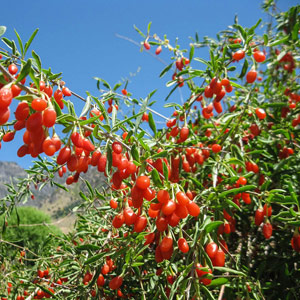 Goji-Berries-Lycium-barbarum-plant
