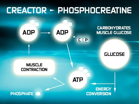 creactor-phospho