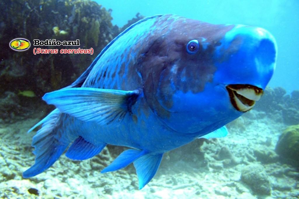 Bodião-azul