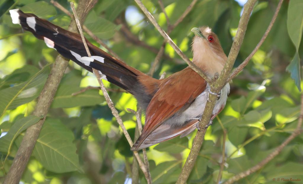 Tinguaçu