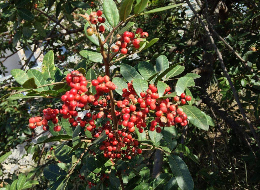 Aroeira vermelha Fruta