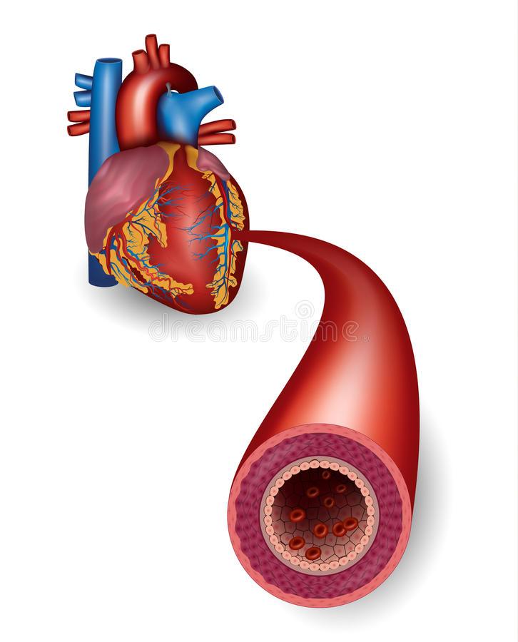 Artéria