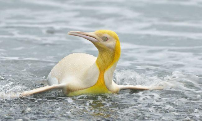 South Georgia Island: yellow penguin