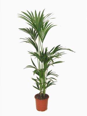 Kentia Palm: popular in gardening