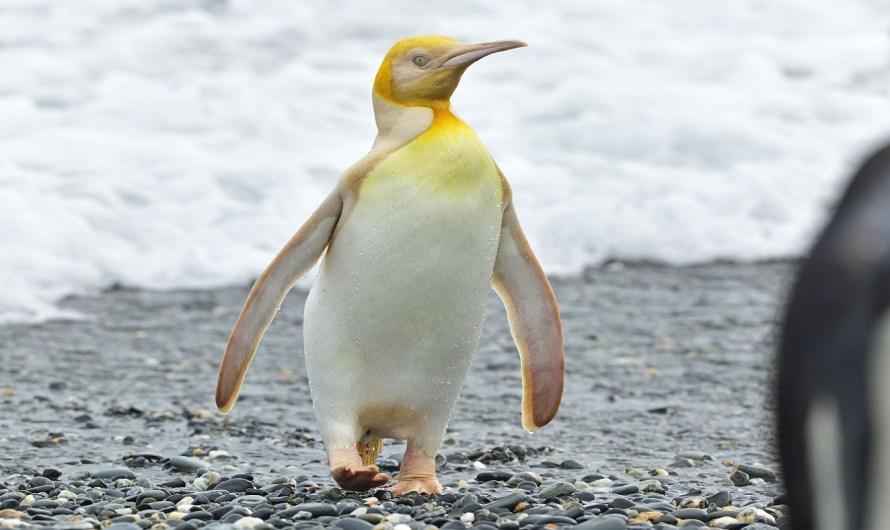 The Yellow Penguin of South Georgia Island