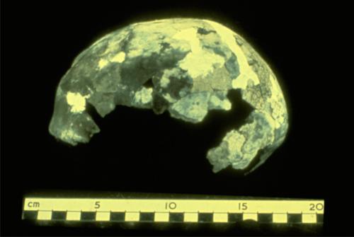 The reconstructed cranium of Mungo Lady