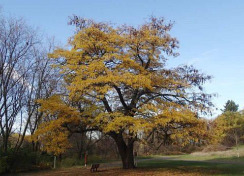 A honey locust tree