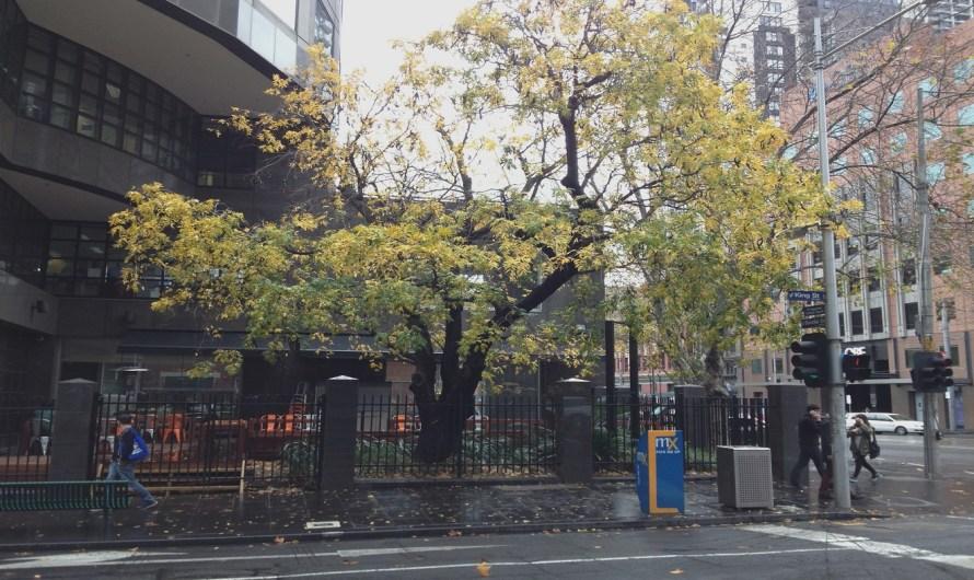 Melbourne's Only Honey Locust Tree