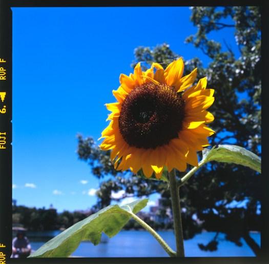 Summer dandelion in Ohori park