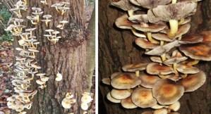 Brown Stew Fungus?