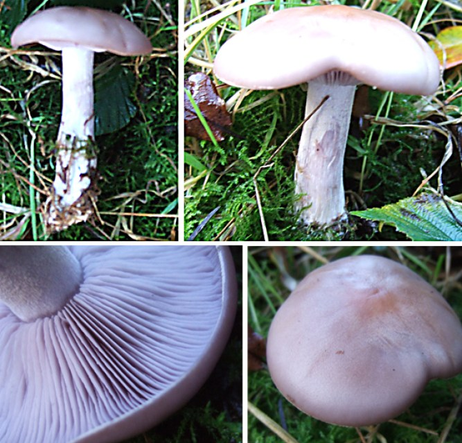 Wood Blewit, Blue Leg or Blue Hat
