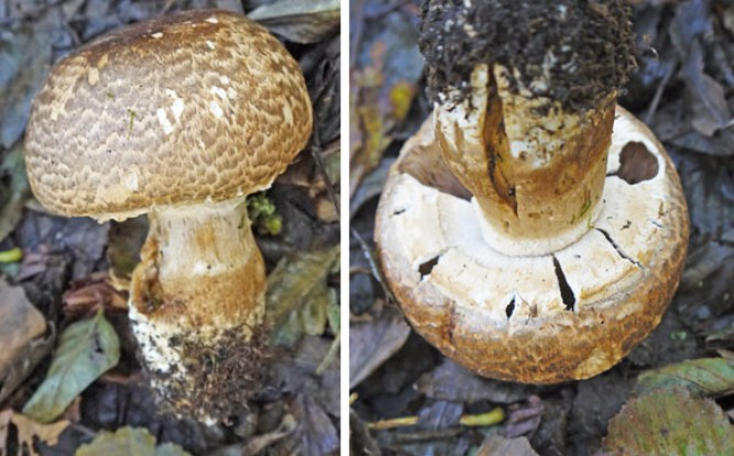 The Prince Mushroom