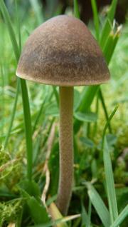 Turf Mottlegil - Panaeolus fimicola